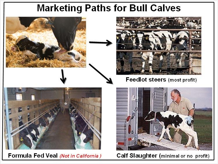 Bull Calf Marketing Channel