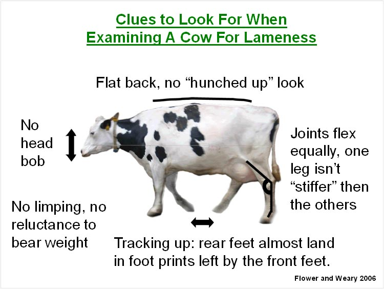 Lameness Clues for Cows